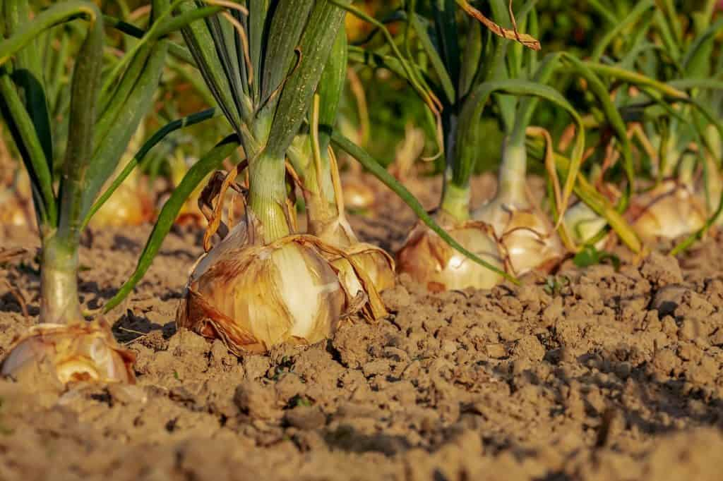 Some Mistakes To Avoid In Vegetable Gardening