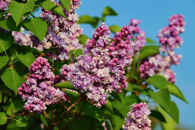 A close up of a flower with Hulda Klager Lilac Gardens in the background